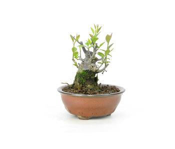 Winterberry japonés, 9,8 cm, ± 18 años