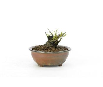 Winterberry japonés, 4 cm, ± 18 años