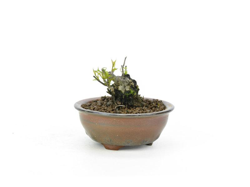 Japanse hulst, 4 cm, ± 18 jaar oud in de vrouwelijke variant, hierdoor krijgt hij in het voorjaar witte bloemen en in het najaar rode bessen