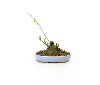 Winterberry japonés, 14 cm, ± 18 años
