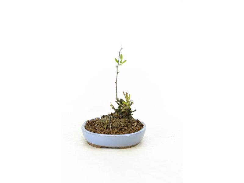Japanse hulst, 14 cm, ± 18 jaar oud met een hoogte van de boomstam van 4 cm, in de vrouwelijke variant, zodat hij in het voorjaar witte bloemen krijgt en in het najaar rode bessen