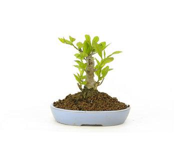 Winterberry japonés, 10,5 cm, ± 18 años