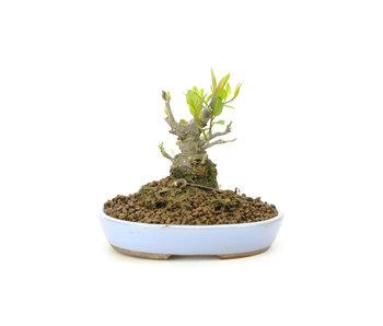 Winterberry japonés, 10,2 cm, ± 18 años