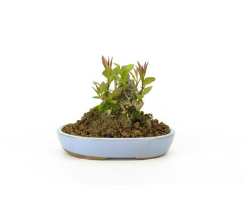 Winterberry japonés, 8,2 cm, ± 18 años