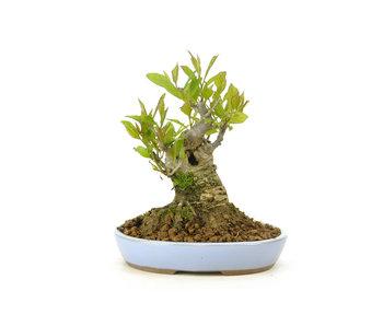 Winterberry japonés, 12,5 cm, ± 18 años