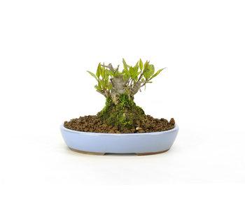 Japanse hulst, 8,3 cm, ± 18 jaar oud