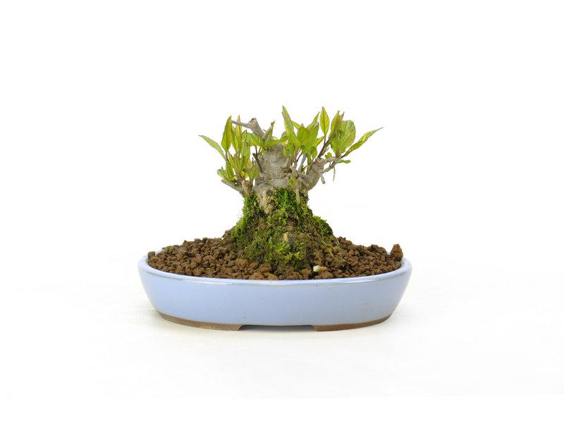 Japanse hulst, 8,3 cm, ± 18 jaar oud in de vrouwelijke variant, krijgt in het voorjaar dus witte bloemen en in het najaar rode bessen