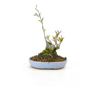 Winterberry japonés, 18 cm, ± 18 años de edad