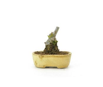 Winterberry japonés, 7 cm, ± 18 años de edad