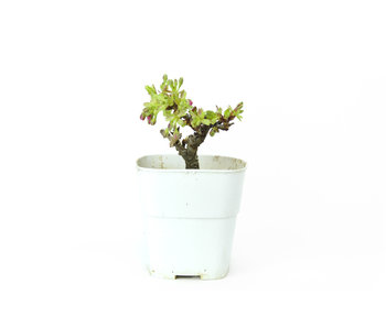 Japanese cherry, 9 cm, ± 8 years old