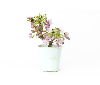 Japanese cherry, 13,5 cm, ± 8 years old
