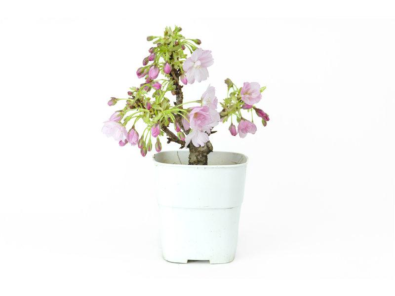 Japanse kers, 13,5 cm, ± 8 jaar oud met mooie roze bloemen