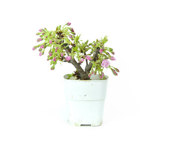 Japanese cherry, 11,5 cm, ± 8 years old