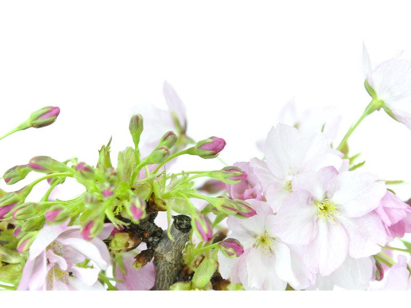 Japanse kers, 10,5 cm, ± 8 jaar oud met mooie roze bloemen