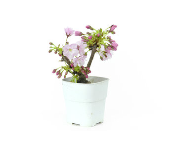 Japanese cherry, 12,5 cm, ± 8 years old