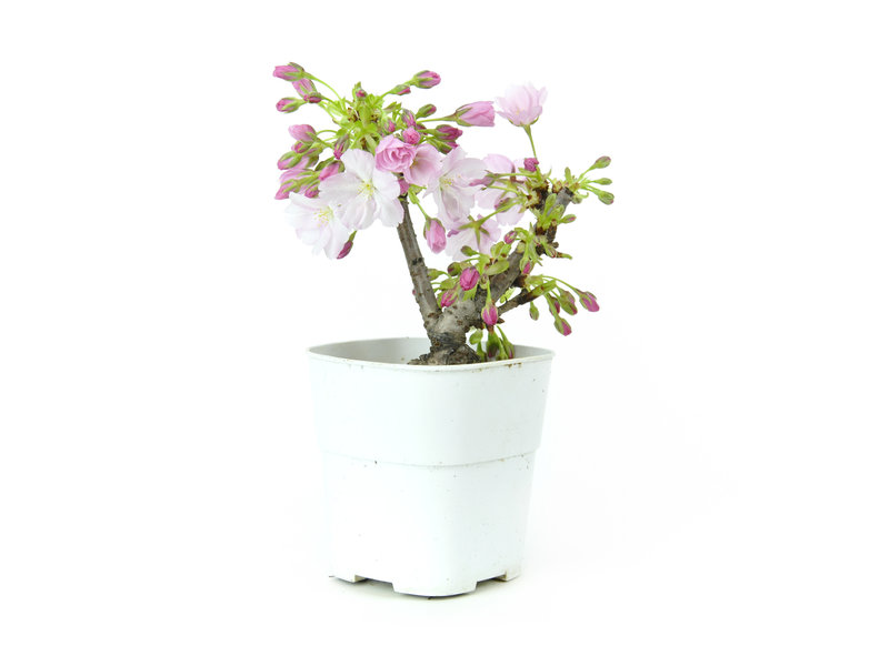 Japanse kers, 12,5 cm, ± 8 jaar oud met mooie roze bloemen