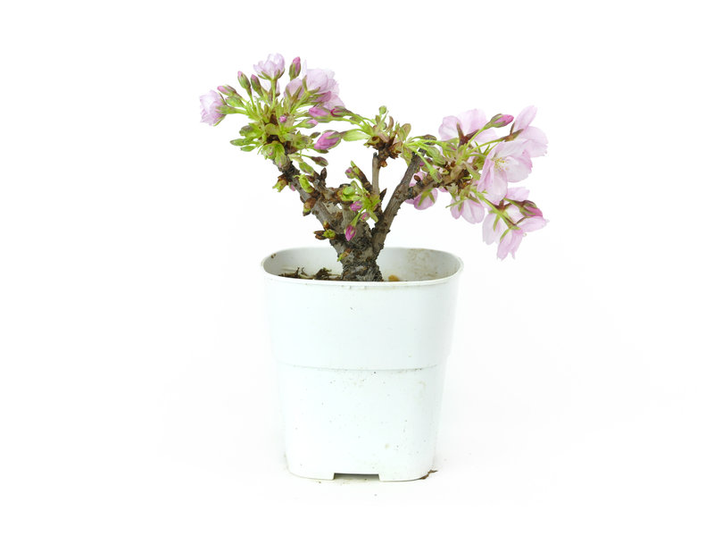 Japanse kers, 10 cm, ± 8 jaar oud met mooie roze bloemen