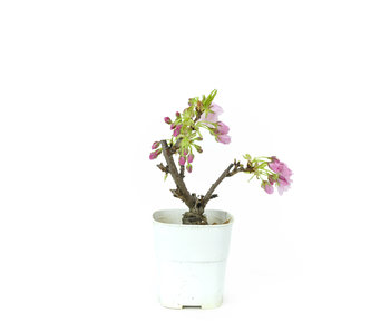 Japanese cherry, 16 cm, ± 8 years old