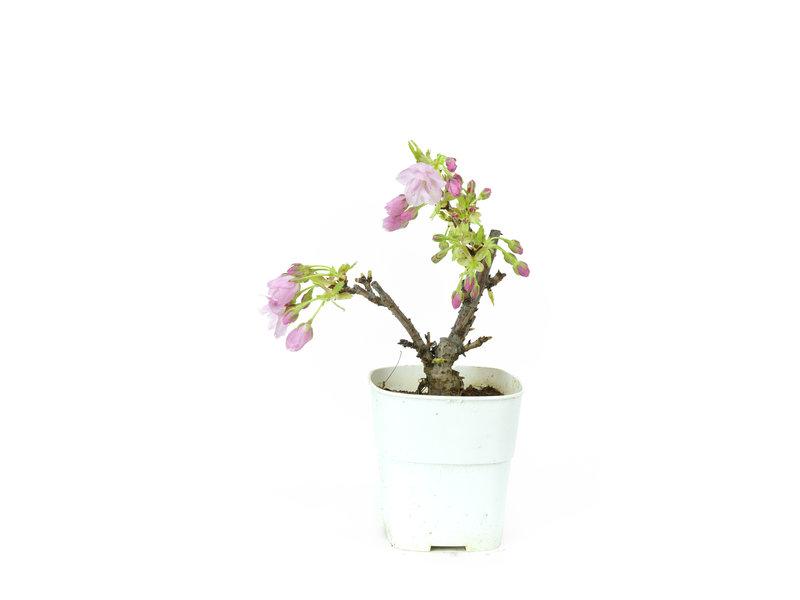 Japanse kers, 16 cm, ± 8 jaar oud met mooie roze bloemen