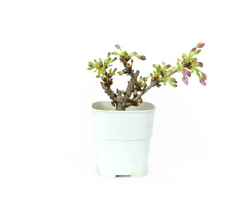 Japanese cherry, 10,1 cm, ± 8 years old