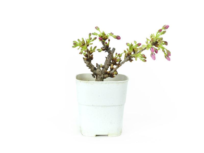 Japanse kers, 10,1 cm, ± 8 jaar oud met mooie roze bloemen