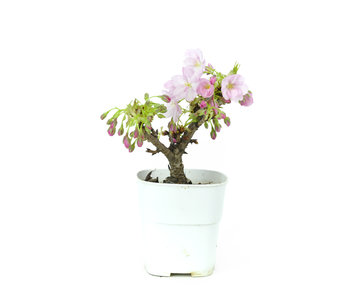 Japanese cherry, 14 cm, ± 8 years old