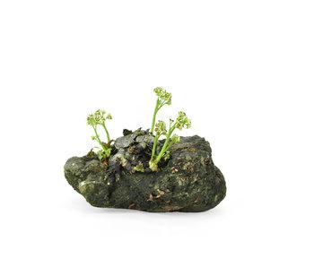 Mukdenia Rossi, 5 cm, ± 12 Jahre alt