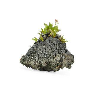 Mukdenia Rossi, 5,5 cm, ± 12 Jahre alt