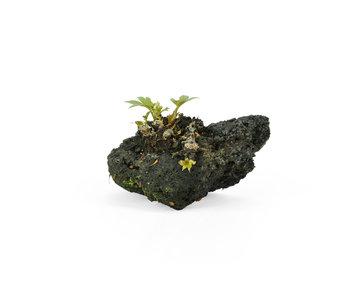 Mukdenia Rossi, 3 cm, ± 12 Jahre alt