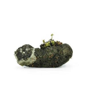 Mukdenia Rossi, 3,1 cm, ± 12 años.