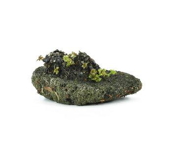 Mukdenia Rossi, 3,5 cm, ± 12 jaar oud