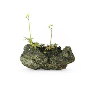 Mukdenia Rossi, 10,2 cm, ± 12 años.
