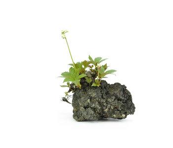 Mukdenia Rossi, 15 cm, ± 12 jaar oud