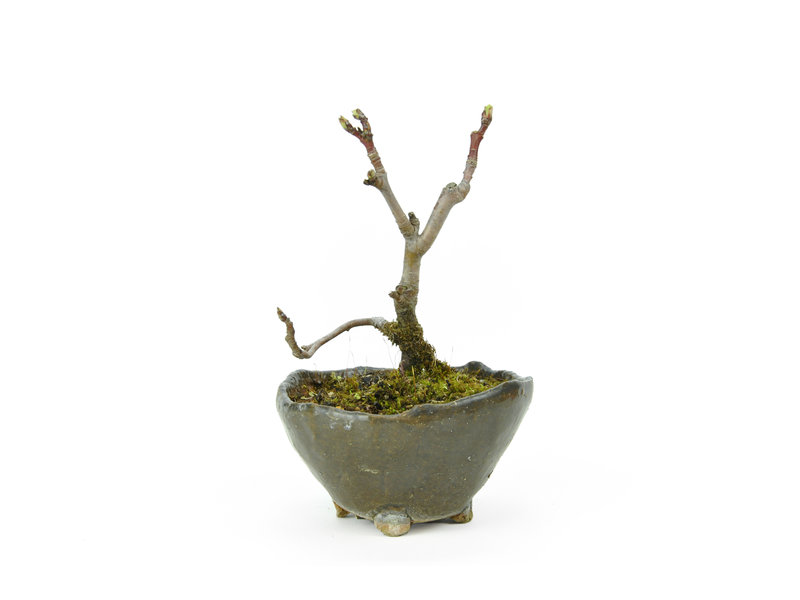 Micro Malus, 12 cm, ± 8 jaar oud met een mooie Japanse pot
