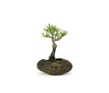 Japanese white pine, 8,5 cm, ± 8 years old
