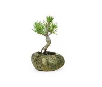 Japanese white pine, 8,1 cm, ± 8 years old