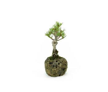 Japanese white pine, 8,5 cm, ± 8 years old