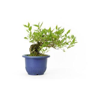 Deutzia esbelta (hime-utsugi), 14 cm, ± 10 años