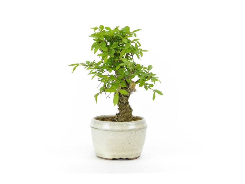 Chinese lep, kleinbladerig met kurk, 13,5 cm, ± 8 jaar oud
