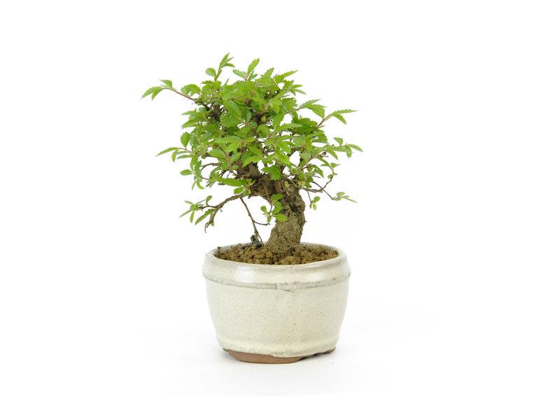 Chinese lep, kleinbladerig met kurk, 10 cm, ± 8 jaar oud