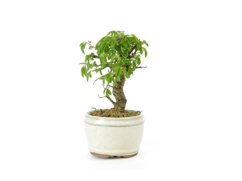 Chinese lep, kleinbladerig met kurk, 11 cm, ± 8 jaar oud