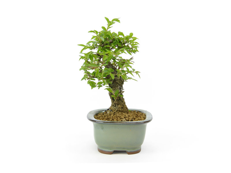 Chinese lep, kleinbladerig met kurk, 14,1 cm, ± 8 jaar oud met Japanse pot