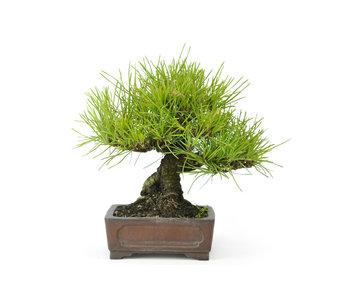 Pino nero giapponese, 15 cm, ± 20 anni