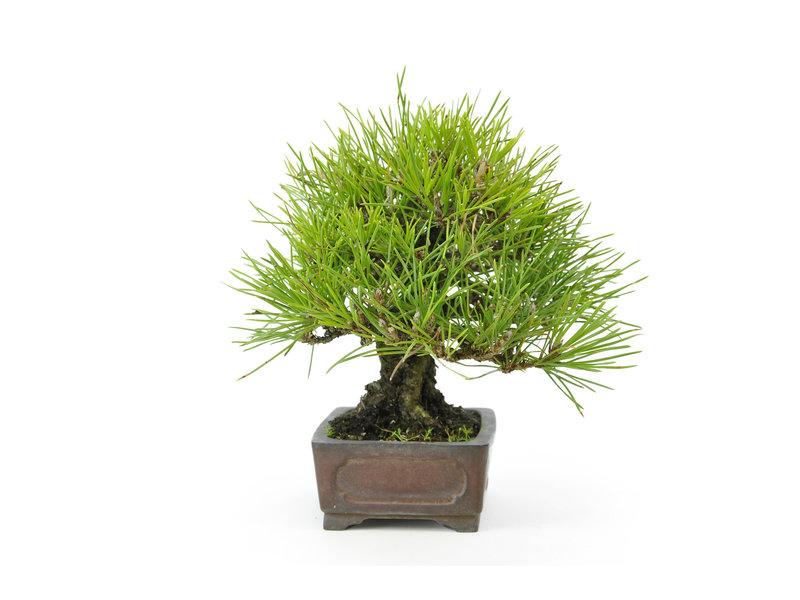 Japanse zwarte den, 15 cm, ± 20 jaar oud in een handgemaakte Shibakatsu pot