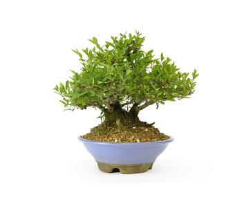 Alheña japonesa, 18 cm, ± 25 años