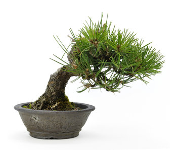 Japanese black pine, 16 cm, ± 20 years old