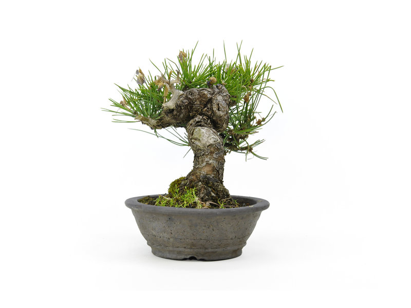 Japanese black pine, 16 cm, ± 20 years old with a nebari of 6 cm in a handmade Yanaaki pot
