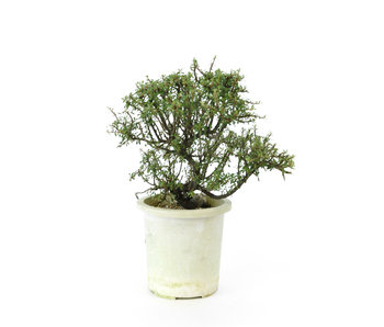 Rock cotoneaster, 20 cm, ± 7 years old