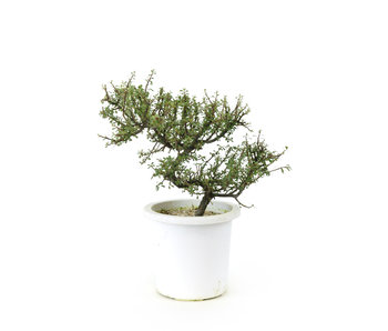 Rock cotoneaster, 20,3 cm, ± 7 years old