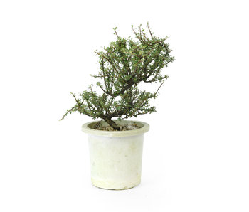 Rock cotoneaster, 20,4 cm, ± 7 years old